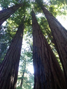 Never Limit Yourself. Always Know that You Can Go Higher and Higher. Reach for the Top! Redwood Forest in Muir Woods National Monument, California, USA