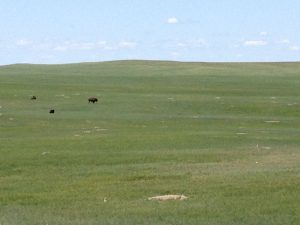 Bison in the rolling prairie.