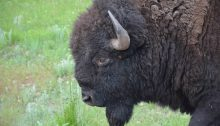 American Bison - the National Mammal