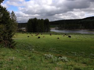 Bison in Hayden Valley in Yellowstone National Park