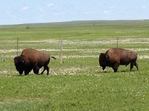 Bison in Badlands National Park