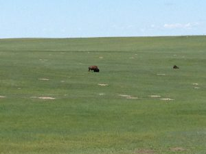 Bison on the prairie in Badlands National Park
